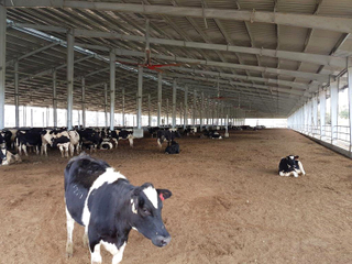 Low Cost Dairy Cow Farm Shed